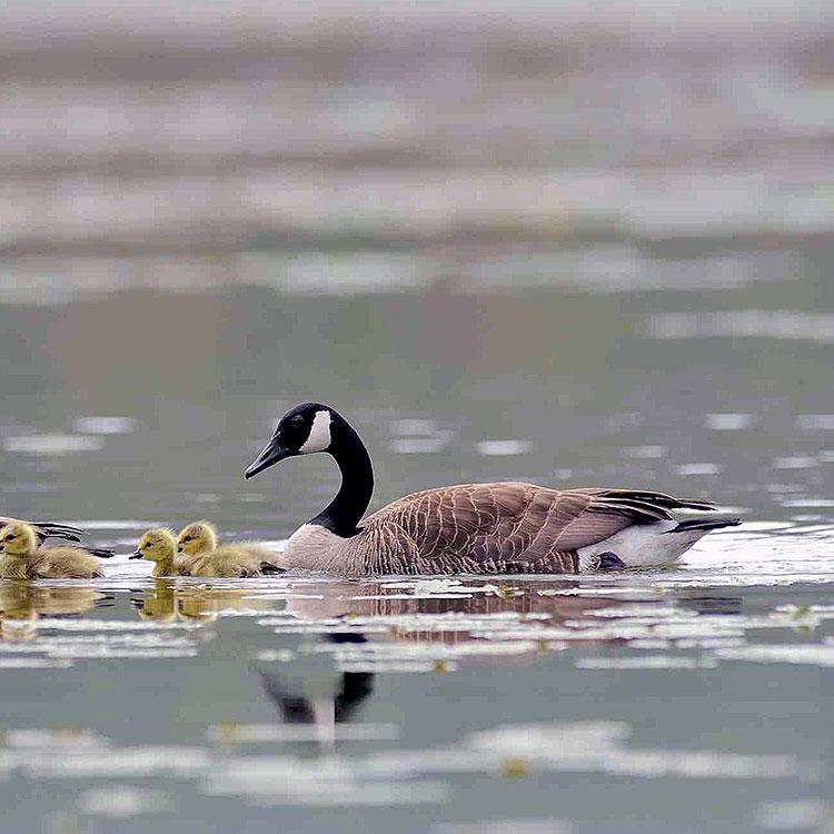 Migrator birds